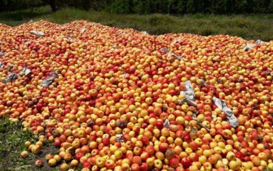 Преспанското јаболко  годинава ќе биде луксуз, ќе нема ни за граѓаните ни за индустријата
