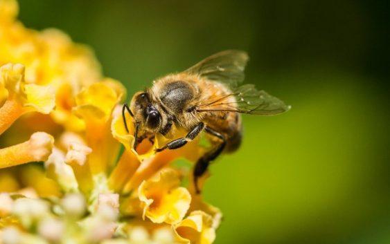 Пчелите се прогласени за најважни живи суштества на Земјата