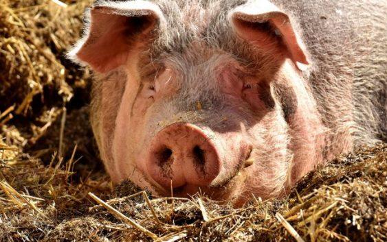 Ново жариште на африканска свинска чума во Бугарија