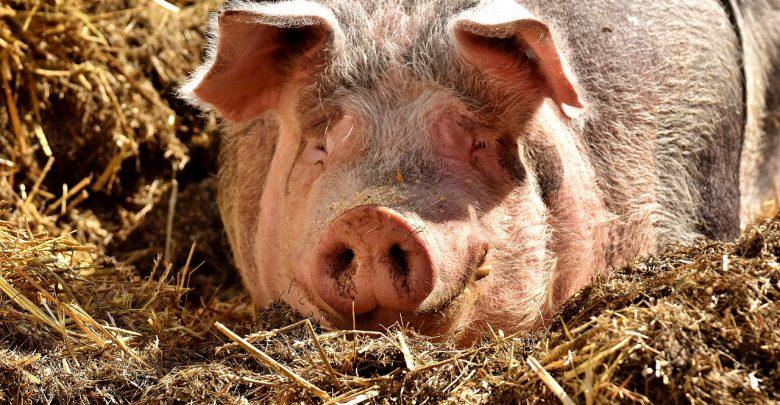 Photo of Ново жариште на африканска свинска чума во Бугарија