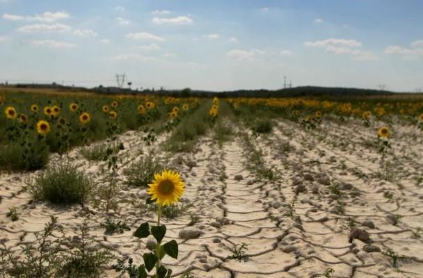 Photo of Пченката стана пуканки, а сончогледите ги наведнаа главите