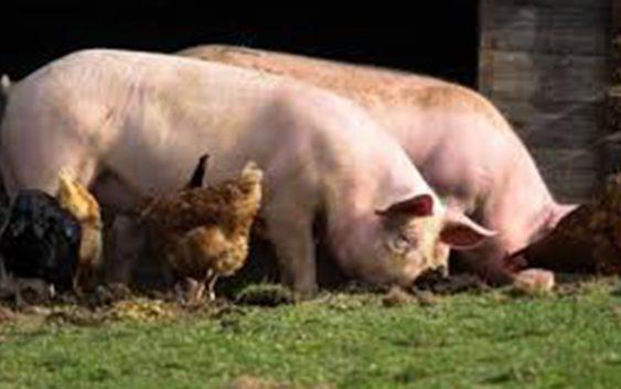 Војската ќе не спасува од дивите свињи, кога тоа не го прават концесионерите и ловџиите