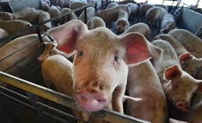 Photo of Да се прогласи вонредна состојба и итно да се вклучи војската во отстрелот на дивите свињи како мерка за заштита од африканската свинска чума