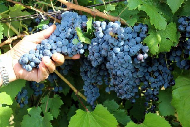 Photo of Министерот за земјоделство ќе се сретне со лозари и винари, ќе се разговара околу откупот на грозјето