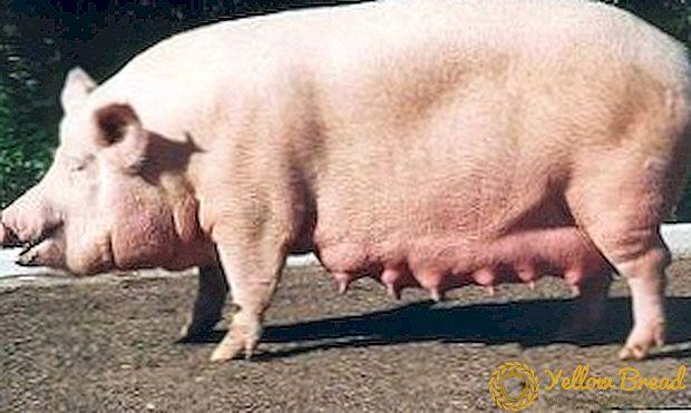 Photo of Атанасов: Нема отштета за угинати свињи од нерегистрирани фарми