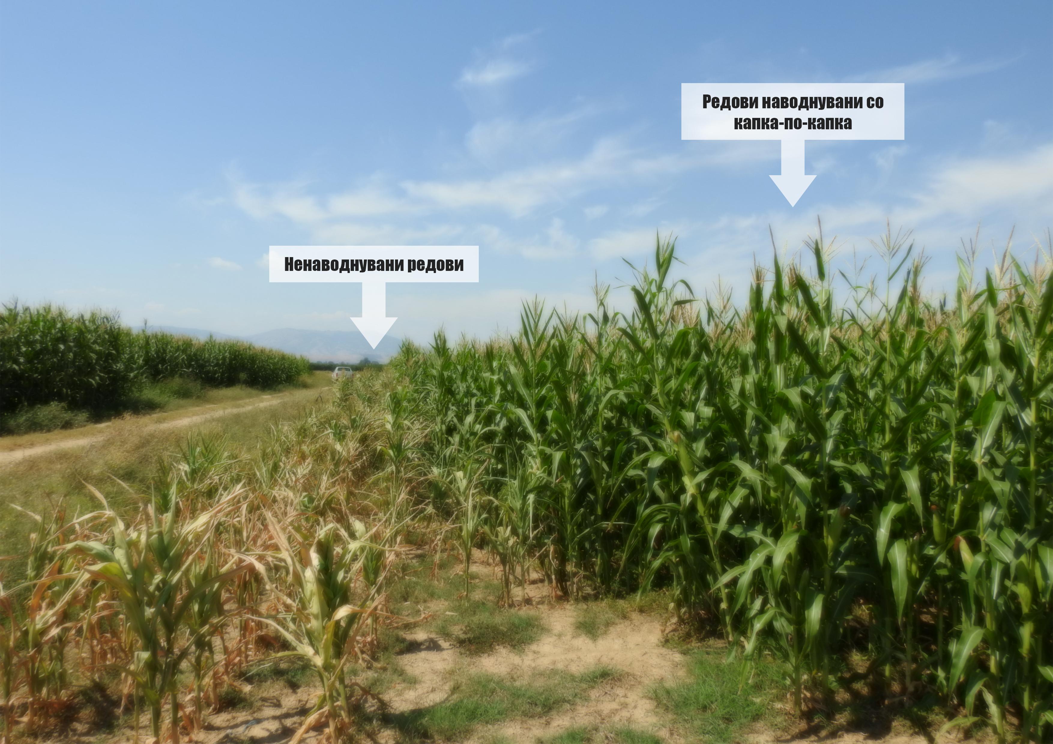 Photo of Подземни системи за капка-по-капка наводнување Како да добиете рекордни приноси на пченка со помалку работа