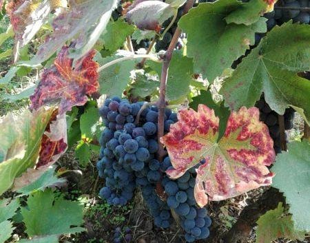 """Хипстерски бизнис: Oдгледување на грозје и производство на """"крафт"""" вина во срцето на Лондон"""