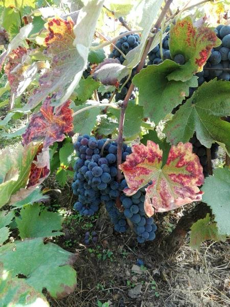 """Photo of Хипстерски бизнис: Oдгледување на грозје и производство на """"крафт"""" вина во срцето на Лондон"""