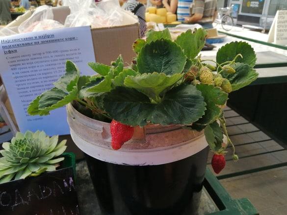 Photo of Одгледување на ситно овошје како бизнис идеја