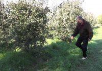 Исчезнува познатиот бренд тетовското јаболко