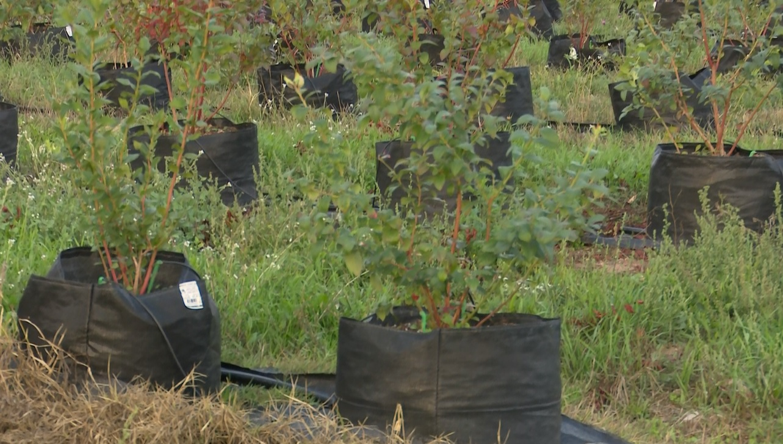 Photo of Одгледување боровинки во вреќи – нов хит во земјоделството