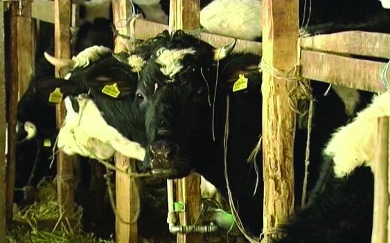Photo of Расцепканоста на фармите го секнува производството на млеко