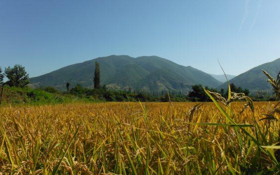 Слабиот рандман годинава проблематичен за оризот