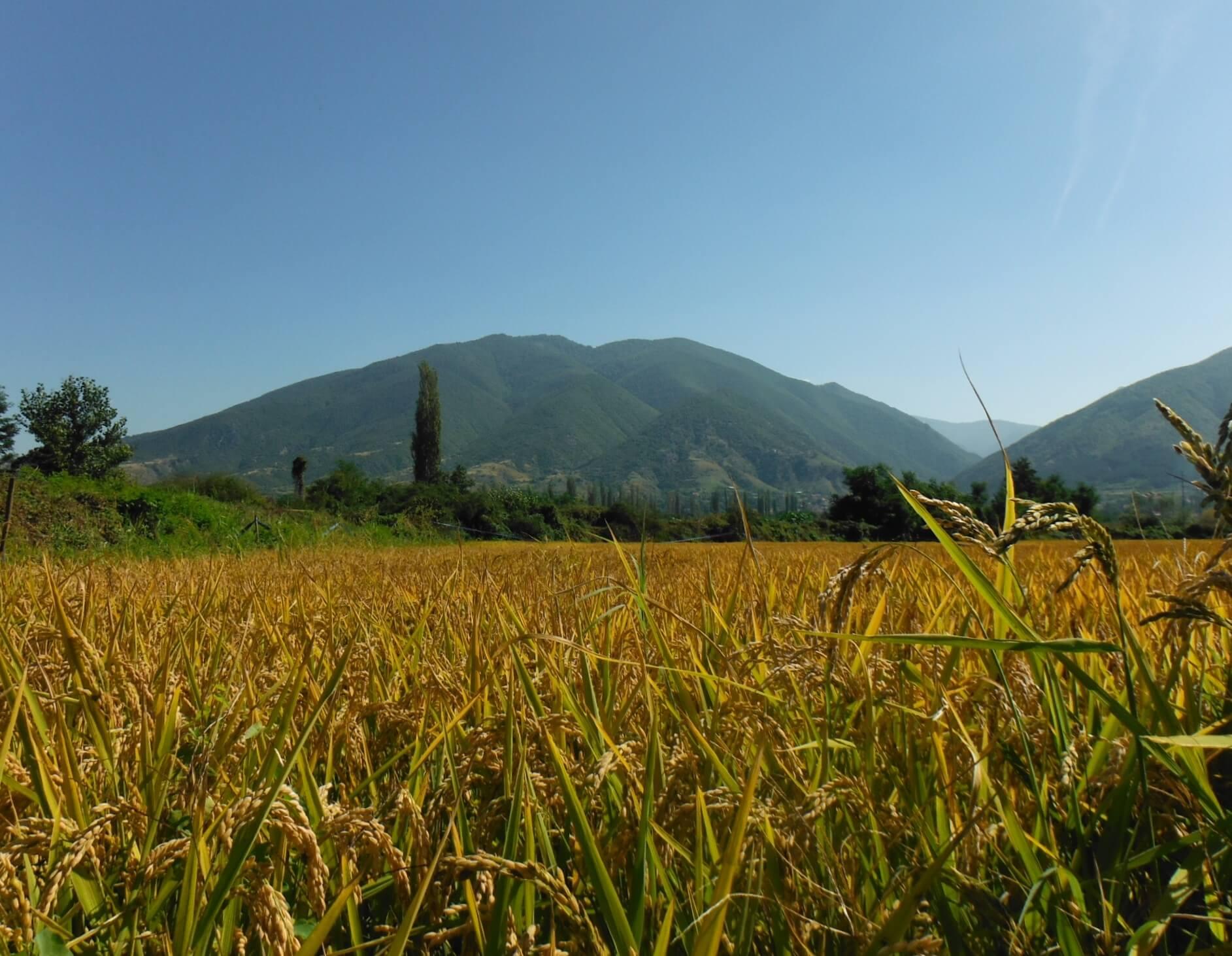 Photo of Слабиот рандман годинава проблематичен за оризот