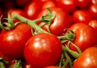 Чување на органски домат (Lykopersikon eskulentum)