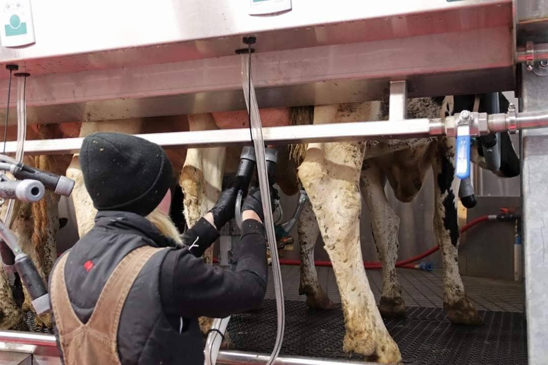 Photo of Фаза- лактација кај молзни крави