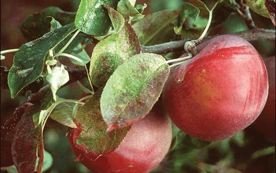Како да ги применувате фосфорните ѓубрива во овоштарството?