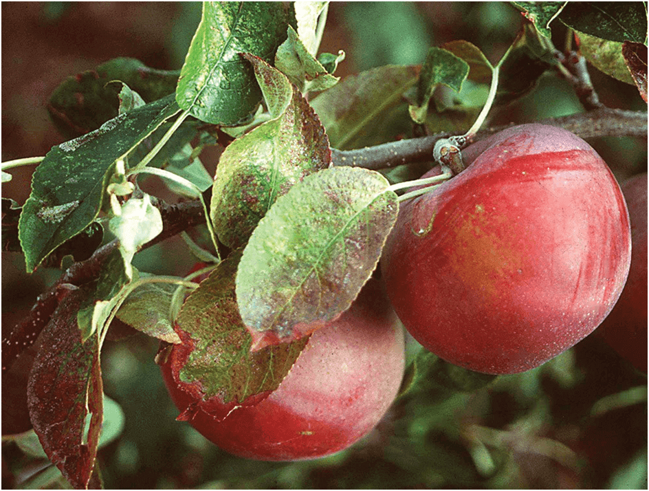 Photo of Како да ги применувате фосфорните ѓубрива во овоштарството?