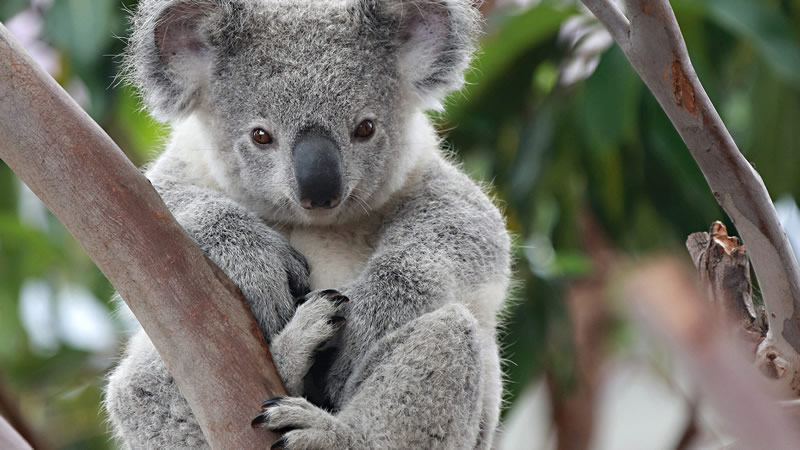 Photo of Koалите може да изумрат до средината на овој век, предупредуваат експерти