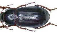 Појава и економско значење на штетникот Zabruz tenebrioides (Goeze) – црн житарец во производството на житни култури во Р.С. Македонија.
