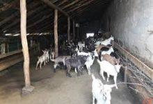 Photo of Внатрешно уредување на објект за чување на кози или овци