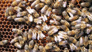 Photo of Сиромашнa годинa за пчеларите во Кичево