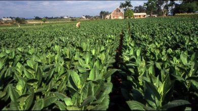 Photo of Сојуз на земјоделски здруженија: Тутунот ќе се откупи, тутунарите нема да бидат оштетени