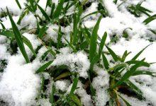 Photo of Штети на стрните жита во текот на зимата