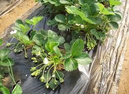 Photo of Одгледување на јагоди