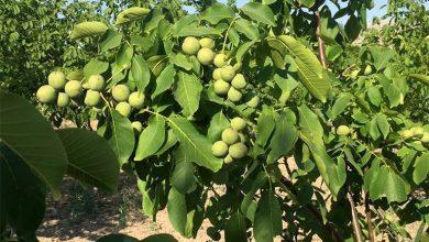 Photo of Одгледувачите на ореви Чендлер се здружуваат за поголем успех