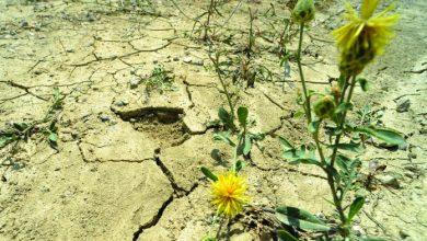 Photo of Посевите во Овче Поле  се жолти, а и во другите региони не се розови