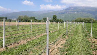 Photo of Пораст на производството на малини во полошкиот регион