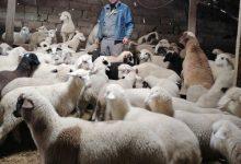Photo of Сточарството на колена, одгледувачите на овци си ги бараат ветените субвенции за задржано женско јагне