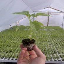 Photo of Избор на сорти и припрема на површини за расадопроизводство на пиперки во заштитен простор