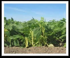 Photo of БОРАНИЈА – (Phaseolus vulgaris)