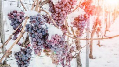 """Photo of Бербата во Германија пропадна: Нема да има """"ледено"""" вино"""