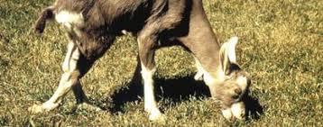 Photo of Заразна кривотница кај овци и кози