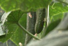 Photo of Првите берби на краставиците од оранжериите најавуваат огромни проблеми за пласманот на земјоделските производи