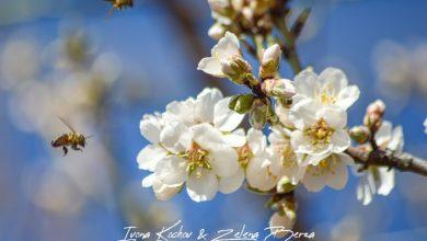 Photo of Проредување на цветови и плодови на овошките