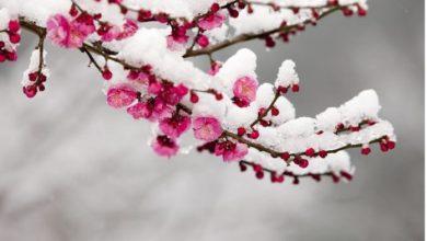 Photo of Се врати снегот во Малешевијата, овоштарите стравуваат од измрзнување на овошките