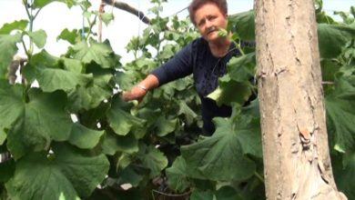 Photo of Мица Петрова-вредна и успешна градинарка од Карбинци