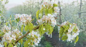 Photo of Препорака за подобро опоравување на растенијата после доцни пролетни мразеви