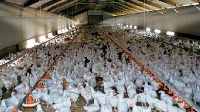 Photo of Потврдена болеста Њукастел на фарма за бројлери во Гази баба