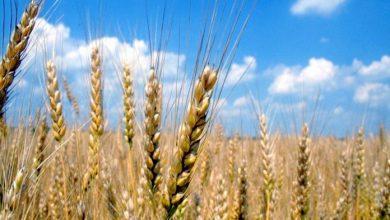 Photo of Русија ќе забрани извоз на жито
