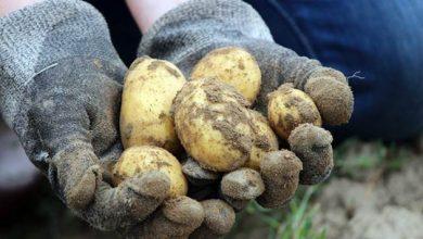 Photo of Агротехника на компир