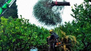 Photo of Европската индустрија за маслиново масло е под зголемена закана од смртоносната лепра