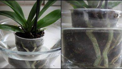 Photo of Домашно ѓубриво за орхидеи – за само 14 дена ќе ги натерате да расцветаат