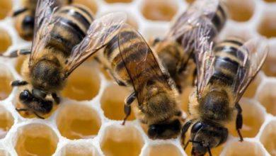 Photo of Половина од пчелите загрозени заради забраната за движење