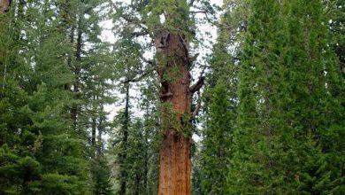 Photo of Најголемото дрво во светот: има 2200 години, а високо е 83 метри