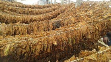 Photo of МЗШВ: До 30-ти април е продоложен рокот за склучување на договори за производство и откуп на тутун за реколтата 2020